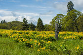 Balsamroot meadow in bloom with yellow flowers — Stock Photo