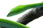 Rough Green Snake Isolated on White — Stock Photo