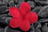 Zen stones with red frangipani flower — Stock Photo