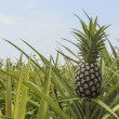 Pineapple plantation — Stock Photo #13894708