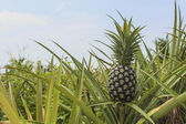 Pineapple plantation — Stock Photo