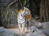 Stand-alone di tigre di Sumatra — Foto Stock