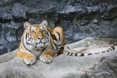 Big tiger in the zoo — Stock Photo