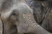 Closeup of elephant head — Stock Photo