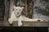 White leo — Stock Photo