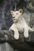 白いレオ — ストック写真