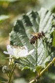Včely na květu — Stock fotografie