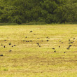 Stock Photo: Lots of crows in garden