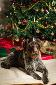 犬とクリスマス ツリー — ストック写真