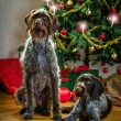 Dogs and Christmas — 图库照片
