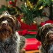 Dogs and Christmas — Stock Photo