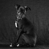 Italian greyhound puppy — Foto de Stock