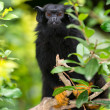 Red-handed tamarin - (Saguinus midas) - Stock Photo