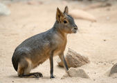 Patagonian mara - (Dolichotis patagonum) — Stock Photo