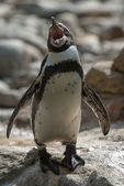 Humboldt penguin - (Spheniscus humboldti) — Stock Photo