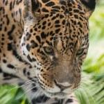 Постер, плакат: Jaguar Panthera onca
