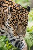Jaguar - (Panthera onca) — Stock Photo