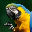 Blue-and-yellow Macaw - (Ara ararauna) — Stock Photo