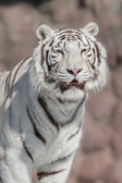 White tiger - (Panthera tigris var. Alba) — Stock Photo