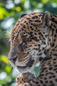 Male jaguar - (Panthera onca) — Stock Photo
