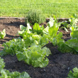Lettuce in garden — Stock Photo #12640810