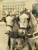 Białe konie — Zdjęcie stockowe