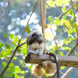 Tamarin monkey — 图库照片