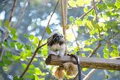 Tamarin monkey — Stock Photo