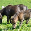 Small horses in the meadow — Foto Stock