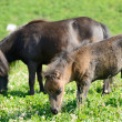 Small horses in the meadow — Stockfoto