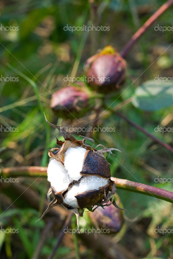 Cotton boll — Stock Photo #12079460