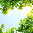 Green leaves with sun ray — Stock Photo #12385224