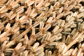 Sesame harvest — Stock Photo