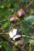 Cotton boll — Stock Photo