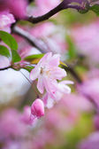 Malus halliana flower in spring — Stock Photo