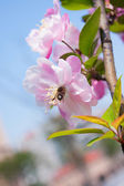 Malus halliana flower in spring — 图库照片