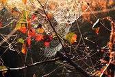 Rosa and autumn leaves on the web in the woods — Stock Photo