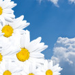 White daisies in the sky — Stock Photo