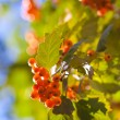 Viburnum — Stock Photo