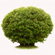 Green bush — Stock Photo