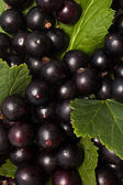 Black currants with leaves — Stock Photo