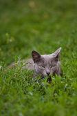 猫草で横になっています。 — ストック写真