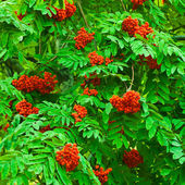 Ripe rowan — Stock Photo