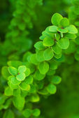 Background of green branches — Stock Photo