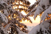 Snow-covered branches in the golden light — Stock Photo