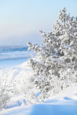 Coniferous tree in the snow — Stock Photo