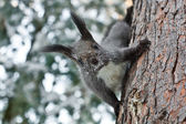 Squirrel running on the trunk of pine — Stock Photo