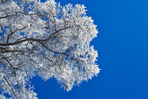 Branches of a tree in the snow — Stock Photo