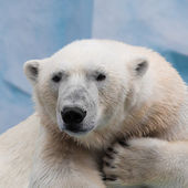 Holidaymaker polar bear — Stock Photo