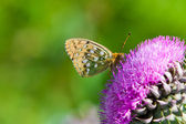 Butterfly in profile sitting on a flower — Stock Photo